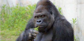 Man arrested for sexually assaulting gorilla in Zoo